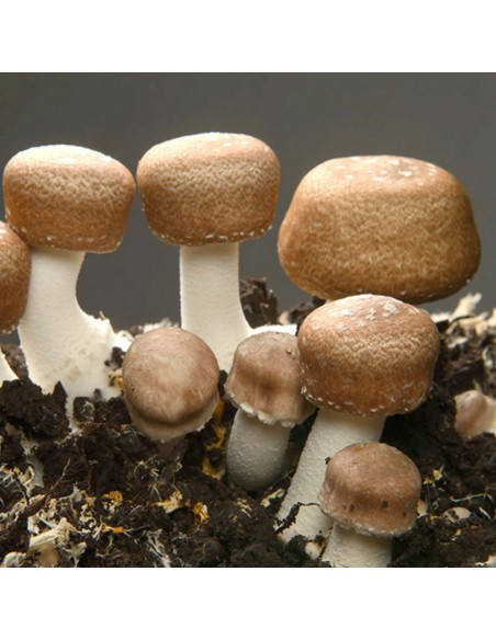 Agaricus blazei Murill je vysoce ceněná medicinální houba