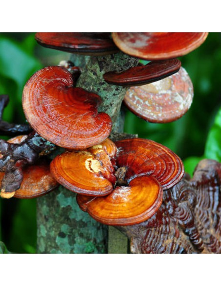 Ganoderma, Duanwood Red Reishi